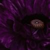 poppy_forweb