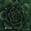succulent_forweb